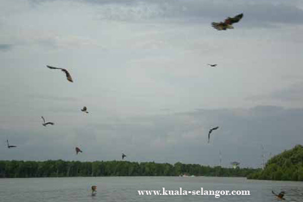 A group of eagles is cycling in  the sky of Selangor River Kuala Selangor.